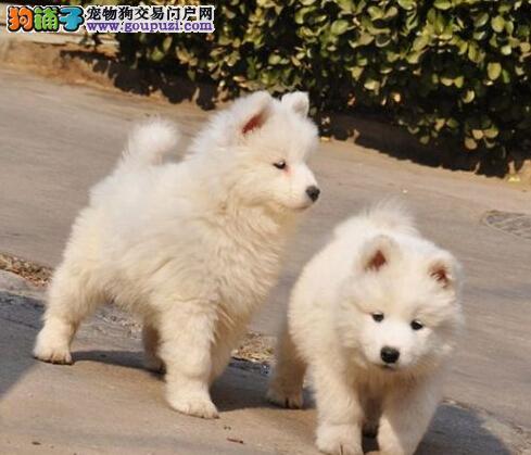北京双眼皮品相好精品统萨摩耶幼犬 超级萌物 多只待售