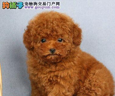 灰色和白色泰迪配种,小狗会是什么颜色?