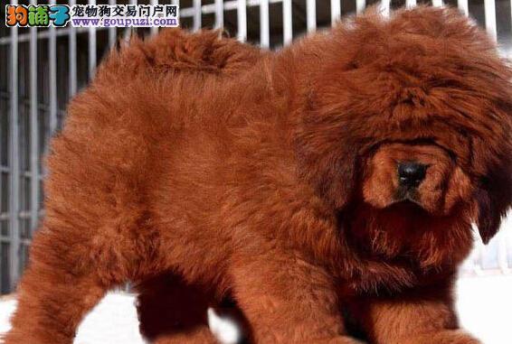 火爆推出2019最新牛系纯种藏獒,纯种大狮头藏獒
