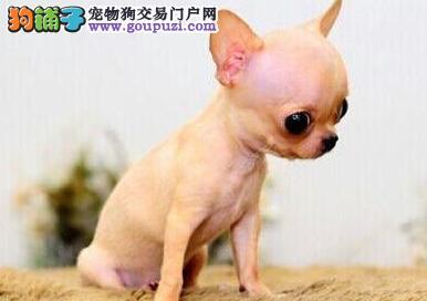 安庆犬舍长期售纯种超小吉娃娃颜色齐全保证纯种健康