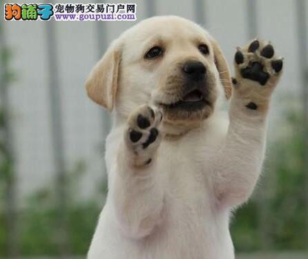 北京大型养犬基地直销出售拉布拉多犬 可上门挑选