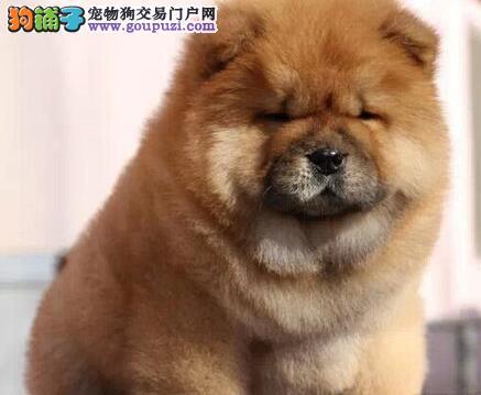 精品松狮黑松狮幼犬出售欢迎上门挑选