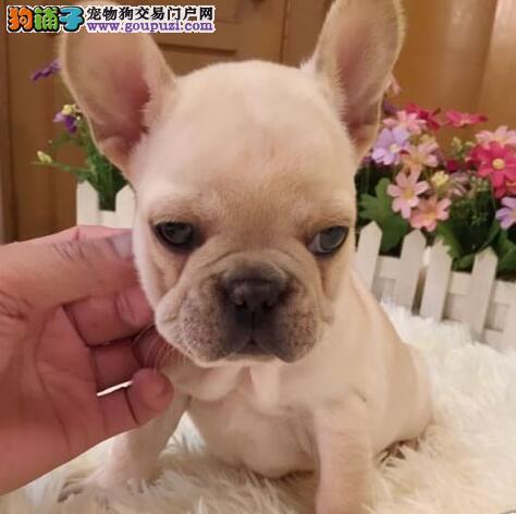 莆田知名犬舍出售多只赛级法国斗牛犬价格特优惠哦