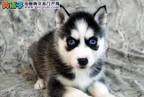 长沙市出售高品质哈士奇幼犬西伯利亚雪橇犬宝宝