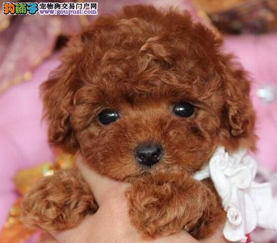 热销多只优秀的纯种泰迪犬支持全国空运发货2