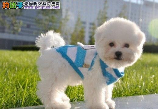 北京正规狗场犬舍直销比熊幼犬优质售后服务
