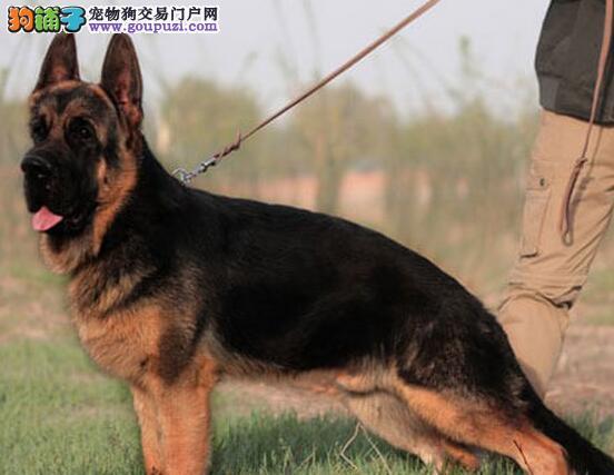 呼和浩特大型犬舍售锤系纯血统德国牧羊犬 狗贩子勿扰