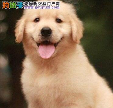 白沙县售高智商金毛犬幼犬 黄金猎犬幼犬公母全