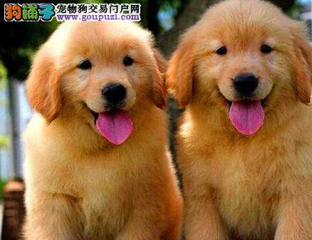 出售西安本地犬舍纯种金毛犬 保证血统购犬有优惠