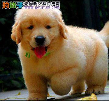 福州狗场直销纯种大骨金毛幼犬 签协议包健康黄金猎犬