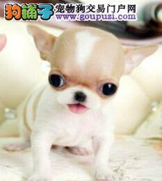 赛级吉娃娃幼犬,金牌店铺信誉第一,喜欢加微信