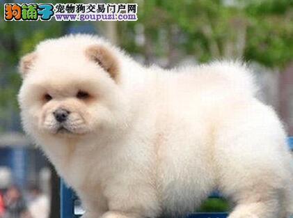 犬舍出售肉嘟嘟的西安松狮犬 身体健康品相好