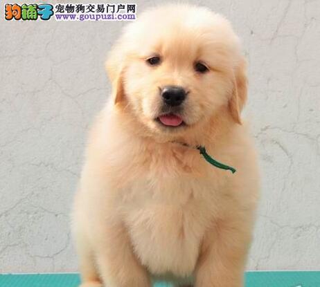 家养极品金毛犬直销中长春地区购犬可送货到家