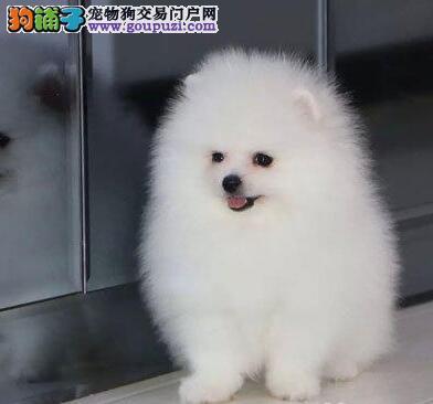 上海英系博美俊介犬乖巧可爱博美犬幼犬终身质保价格低