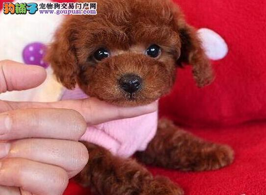 热销多只优秀的宝鸡纯种泰迪犬幼犬保证品质完美售后4