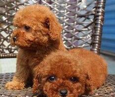 合肥狗场专业销售极品泰迪犬可办理证书有免疫证明