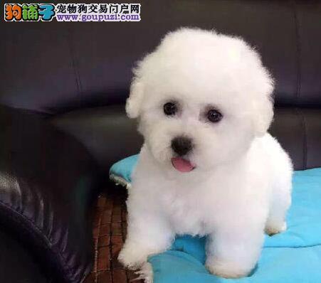 上海纯种玩具体法国卷毛比熊犬自家繁殖保健康包养活