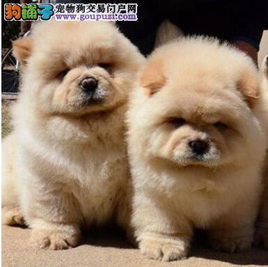 北京繁育赛级双血统松狮犬信誉保证保纯种保健康