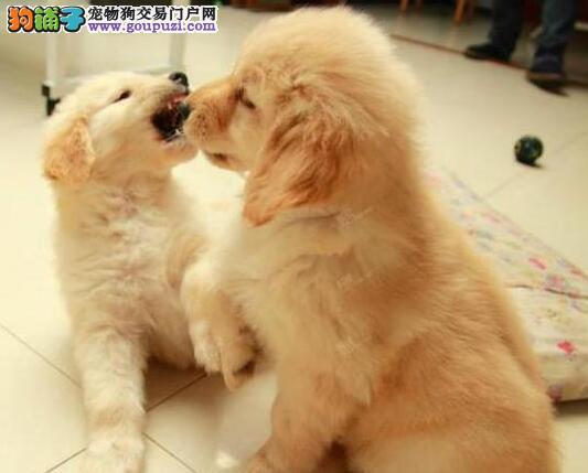 基地出售纯种郑州金毛犬公母都有疫苗齐全