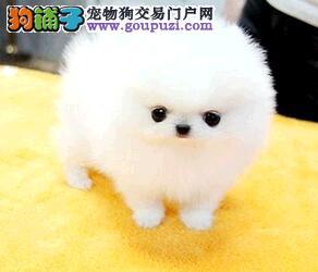 萌宠降临 西安出售 纯种哈多利博美幼犬 娇小体型