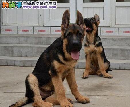 极品纯种大头锤系深圳德国牧羊犬出售 签署质保协议书