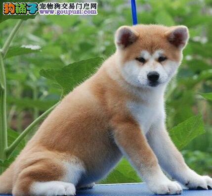 长沙哪里出售秋田犬 纯种秋田犬价格多少钱