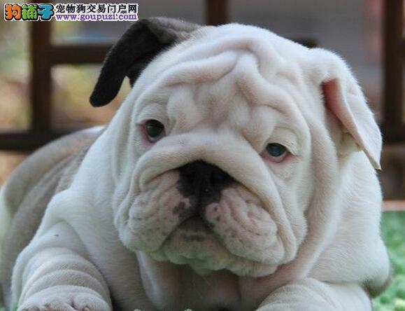 福州正规狗场出售花色好的斗牛犬保纯保健康1