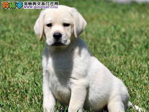 重庆直销聪明温顺高端品质神犬小七拉布拉多 CKU认证