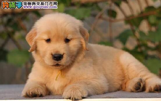 热销金毛幼犬 品质极佳品相超好 专业信誉服务