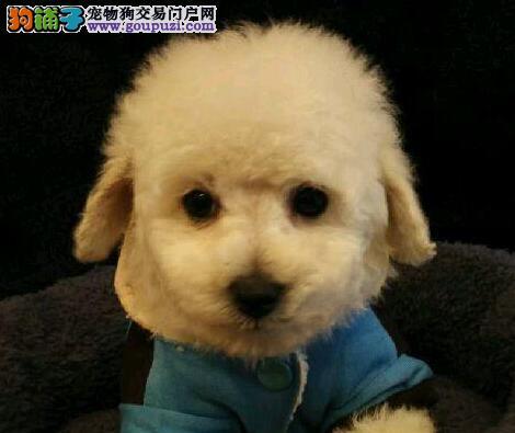 南昌精品高品质泰迪犬幼犬热卖中当日付款包邮1