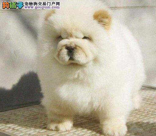 大嘴紫舌松狮犬特价出售 来哈尔滨上门购买送狗笼子