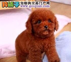 宿州售纯种小体泰迪犬毛量大可造型纯种小贵宾三针全2