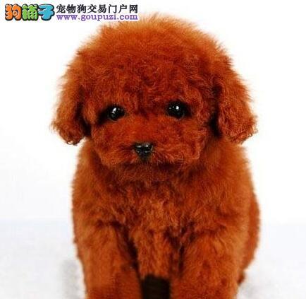 保定自家繁殖的泰迪犬促销中 茶杯体颜色全可挑选
