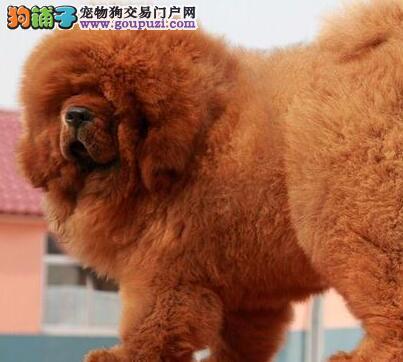 赤峰出售棕褐色眼睛纯种健康小藏獒犬价格公道明码标价