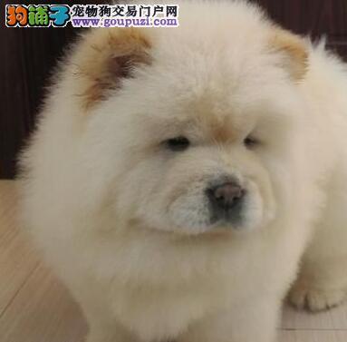 广州售松狮松狮犬 高品质幼犬  官方认证