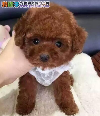 济南售泰迪犬卷毛贵妇犬幼犬公母全有可挑选2