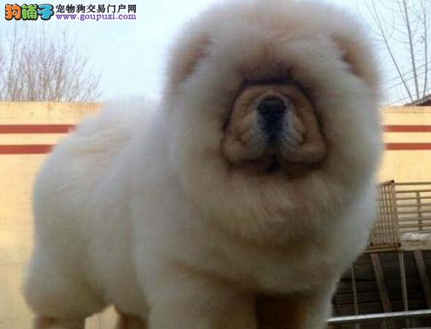 大嘴紫舌松狮犬南京狗场自家繁殖热销 颜色多样品种全