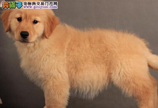 大骨量双血统的贵阳金毛犬找新家 多只幼犬供选择1