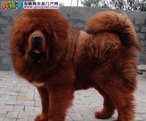 广州有纯种藏獒买卖吗 藏獒一只多少钱 小藏獒价格