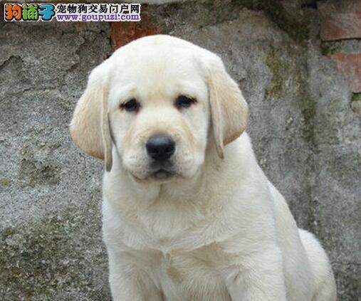 多大开始训练拉布拉多狗狗最合适