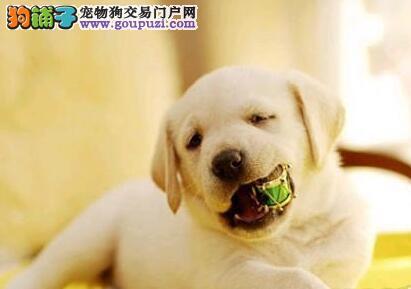 顶尖犬业直销南京拉布拉多犬 血统证书可办理cku证书