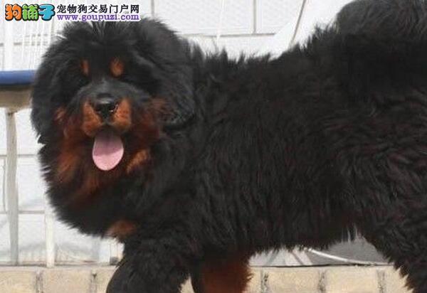 深圳哪里有卖藏獒 深圳出售铁包金藏獒幼犬价格
