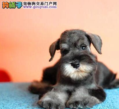 出售椒盐色大胡子的昆明雪纳瑞幼犬 可随时视频选购犬1