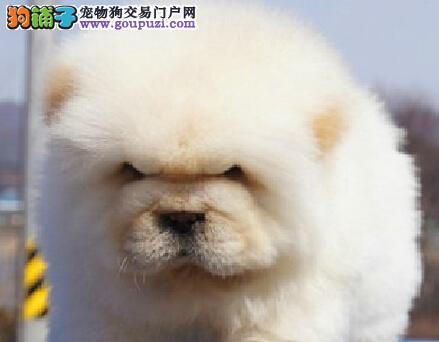 福州售纯种松狮幼犬公母全有欢迎选购