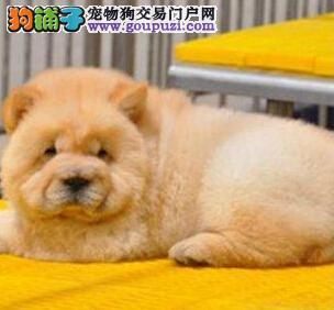 大连正规狗场特价优惠出售多只松狮犬 品种售后均保证