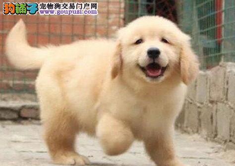 金黄色的南京金毛犬求好心人收留 喜欢的朋友不要错过3