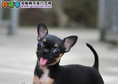 西安知名犬舍出售多只赛级吉娃娃全国十佳犬舍