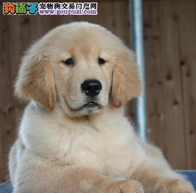 呼和浩特CKU犬舍出售金毛犬 签订三年质保购犬协议书