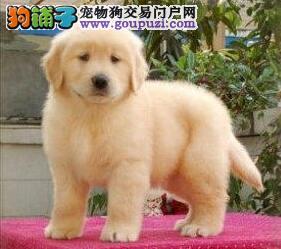 出售顶级血统金毛寻回犬 健康纯种 品质保证 多只可选