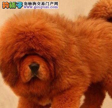 狗狗养护: 狗狗眼睛分泌物增多,多半是炎症?